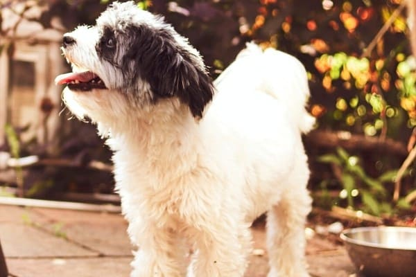 A black and white Mini Sheepadoodle puppy standing beside his food bowl on an outdoor patio.