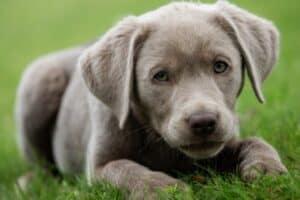 A silver Labrador Retriever puppy lying on green grass.