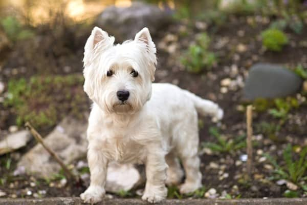 A West Highland Terrier standing in the woods with several rocks in the background.