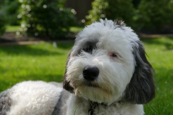A black and white Mini Sheepadoodle sporting a recent haircut relaxing on a lawn.