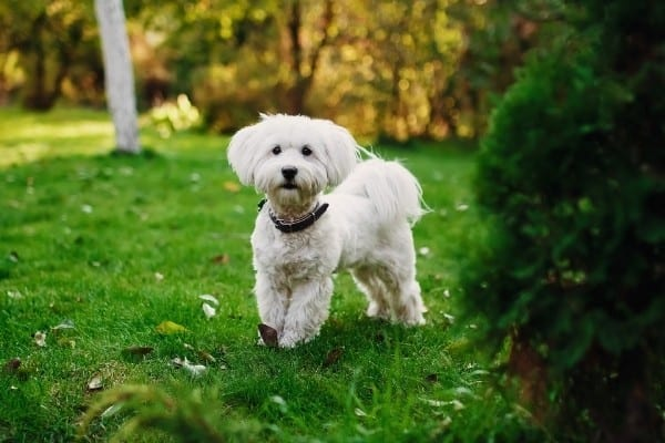 A white Malchi with a short haircut standing on a lush lawn.
