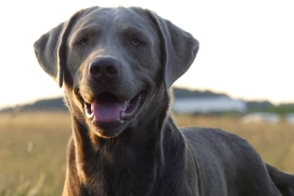 An adult Silver Labrador Retriever with a field in the background.