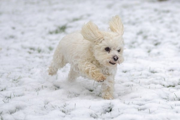 A Maltichon dog (Bichon Frise Maltese mix) running through fresh snow.
