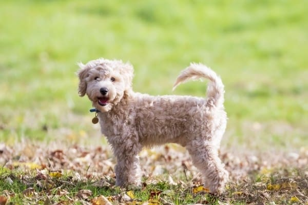 A cream Poochon (Poodle Bichon Frise mix) standing on a green lawn surrounded by a few fallen leaves.