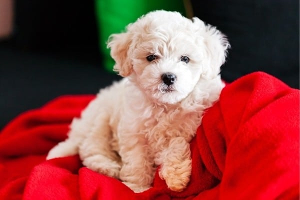 A cute Bichon Frise mixed puppy sitting on a bright red blanket.