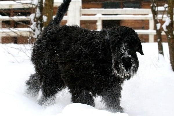 A black Giant Schnoodle walking in the snow in front of a fence and shed.