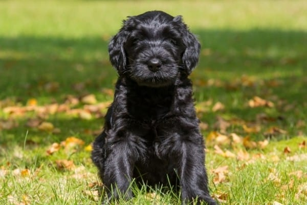 A black Giant Schnoodle puppy sitting on green grass with a few fall leaves scattered on the ground.