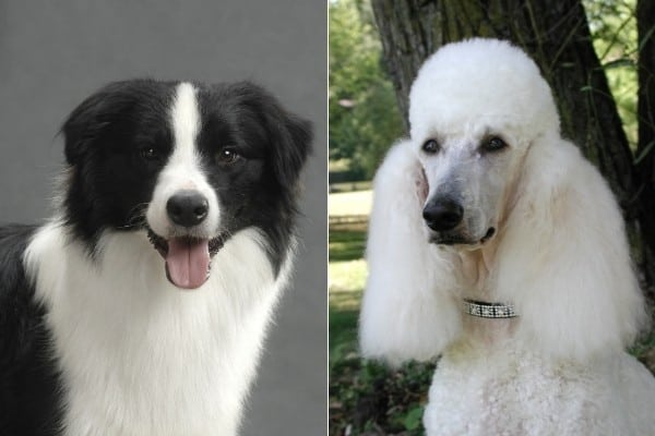 A black and white Border Collie on the left, and a white standard Poodle on the right.