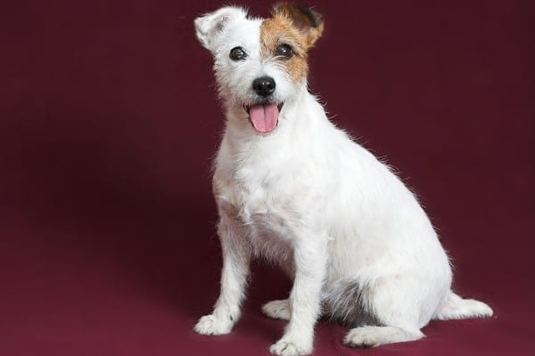 A rough-coated Jack Russell Terrier with a burgundy background.