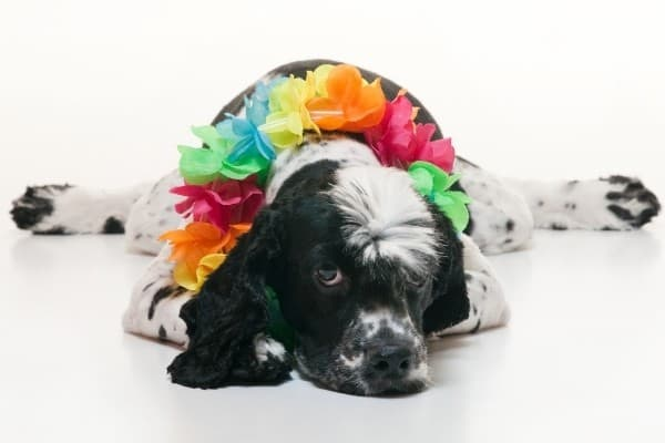 A black and white Cockalier wearing a colorful Hawaiian lei around his neck.