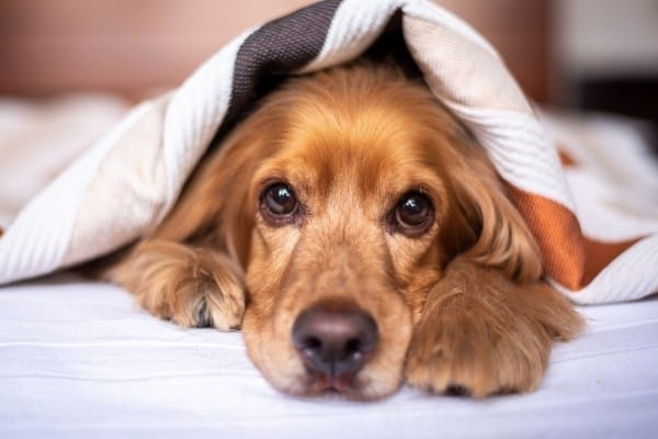 A Cocker Spaniel Dachshund cross in bed peaking out from beneath the covers.