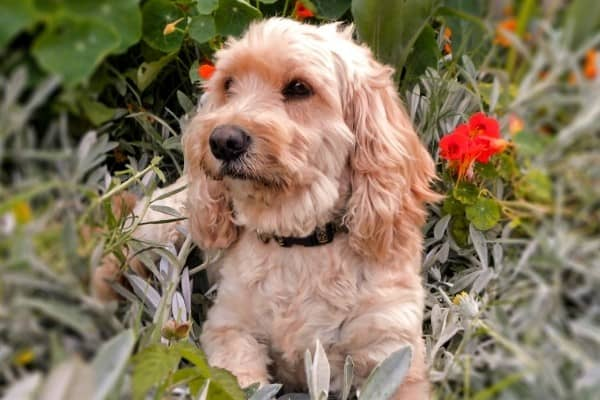 A tan Silky Cocker relaxing among plants and red flowers.