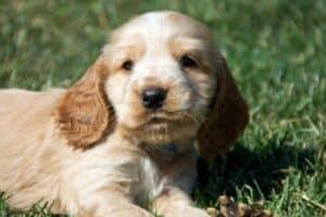 A cream Cocker Spaniel mix puppy lying on green grass.