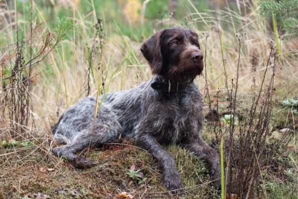 An adult German Wirehaired Pointer resting among tall, weedy undergrowth in a field.