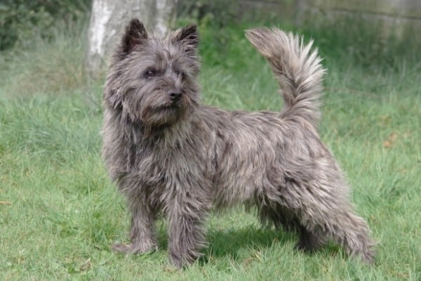 A gray Cairn Terrier standing on grass gazing off to his left.