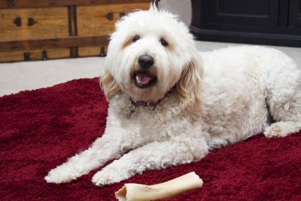 A light cream Bordoodle lying on a dark red rug with a rawhide.