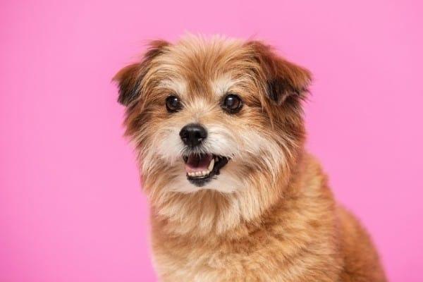 A Pomachon (Pomeranian Bichon Frise mix) with a pink background.