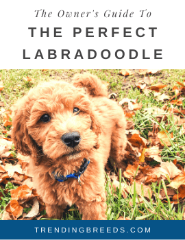 The Owner's Guide To The Perfect Labradoodle_cover