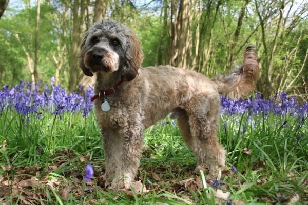 A tricolor Cockapoo standing in the woods with purple flowers in the background.