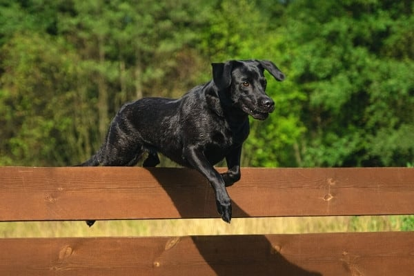A black lab mix jumping over a wood rail fence.