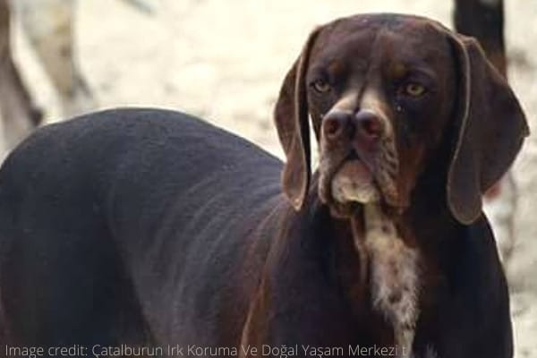 A brown Catalburun dog with white marks on his chin and chest.
