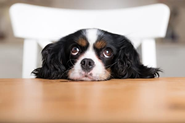 A cute King Charles spaniel resting her head on a kitchen tabletop.