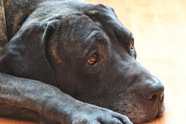 An older dog with a brindle coat resting with his head down on the floor.