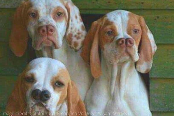 Three tan-and-white Catalburun dogs with split noses.