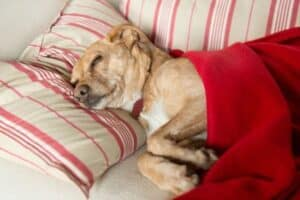 A tan-and-white dog resting on a striped couch under a red blanket with his head on a pillow.