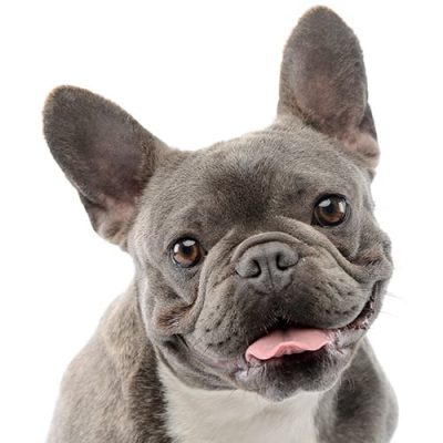 French-Bulldog-Portrait-small